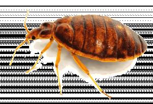 bedbugspng